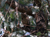 Blek dvärguv - Striated Scops-Owl (Otus brucei)