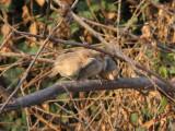 Irakskriktrast - Iraq Babbler (Turdoides altirostris)