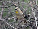 Gulstrupig stensparv - Yellow-throated Sparrow (Petronia xanthocollis)