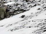 Kaspisk snöhöna - Caspian Snowcock (Tetraogallus caspius)