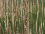 Fältsångare - Paddyfield Warbler (Acrocephalus agricola)