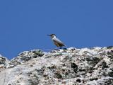 Östlig klippnötväcka - Eastern Rock Nuthatch (Sitta tephoronota)