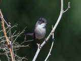 Östlig sammetshätta - Menetries´s Warbler (Sylvia mystacea mystacea)