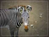 Grevvy's Zebrat