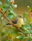 2nd young finch.jpg