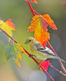 pretty finch in fall colors.jpg