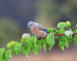 blue bird on branch.jpg