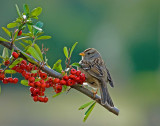 sparrow checking out the berries.jpg