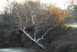 unusual tree in bird  refuge.jpg
