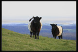 Belted Galloway.