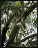 Brown - Headed Honeyeaters