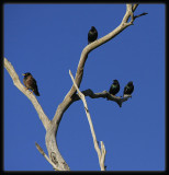 European Starlings & Miner Bird