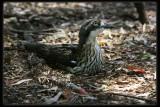 Bush Stone - Curlew
