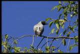 Black - Faced Cuckoo - Shrikes