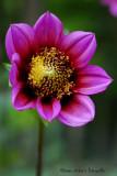dahlia close-up