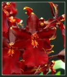 orchidee rood