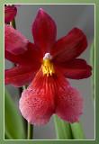 orchidee rood familie miltoniopsis
