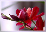 orchid red