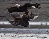 Bald Eagles at Haines, Alaska