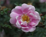 Challenge - To a wild rose - 25