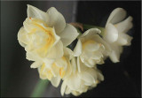 Cream jonquils