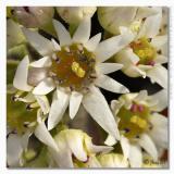 Mukdenia rossii  (Aceriphyllum rossii)