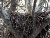 Bald Eagle nest at Great Falls, VA