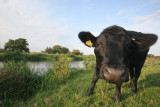September 15  2008:  We Have Cows in Surrey Too!