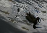 Botanical Duck