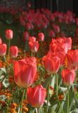 April 29 2006:  Tulips