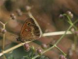Gatekeeper (Pyronia tithonus )