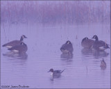 Canada Geese in the mist