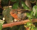 The same Robin