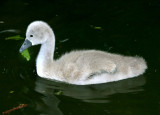 An ugly duckling.
