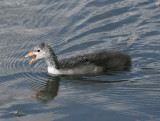 A young Coot.