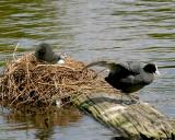 A Coots nest.