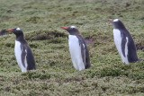 Gentoo penguin on Carcass Island