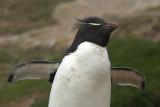 pingwin z³otoczucy (eudyptes chrrysolophus)