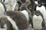 Rockhopper penguin on Saunders Island