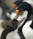 kormoran niebieskooki (phalacrocorax atriceps)