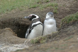 Magellanic penguin on Saunders Island