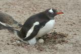 Gentoo penguin on Saunders Island