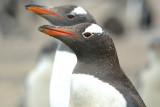pingwin bia³obrewy (pygoscelis papua)