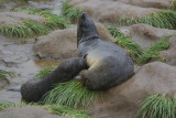 Fur seal  - Right Whale Bay