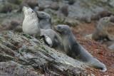 Fur seal - Elsehul Harbour