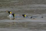 King penguin - Elsehul Harbour