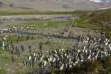 King penguin colony - Fortuna Bay
