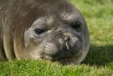 Elephant seal - Grytviken