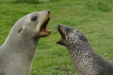 Fur seal - Grytviken