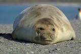 Elephant seal - St.Andrews Bay